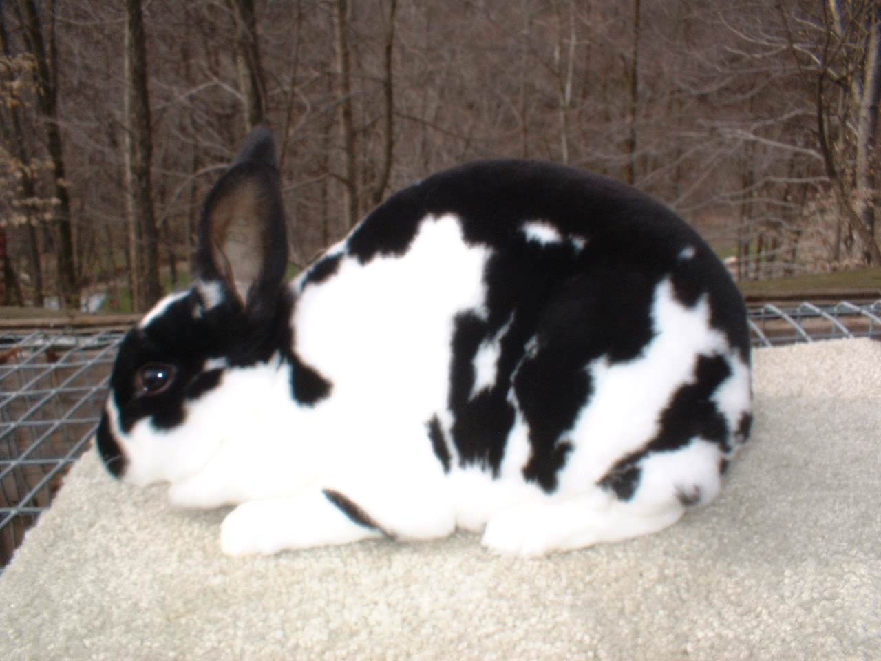 Broken Mini Rex Rabbit | www.pixshark.com - Images ...